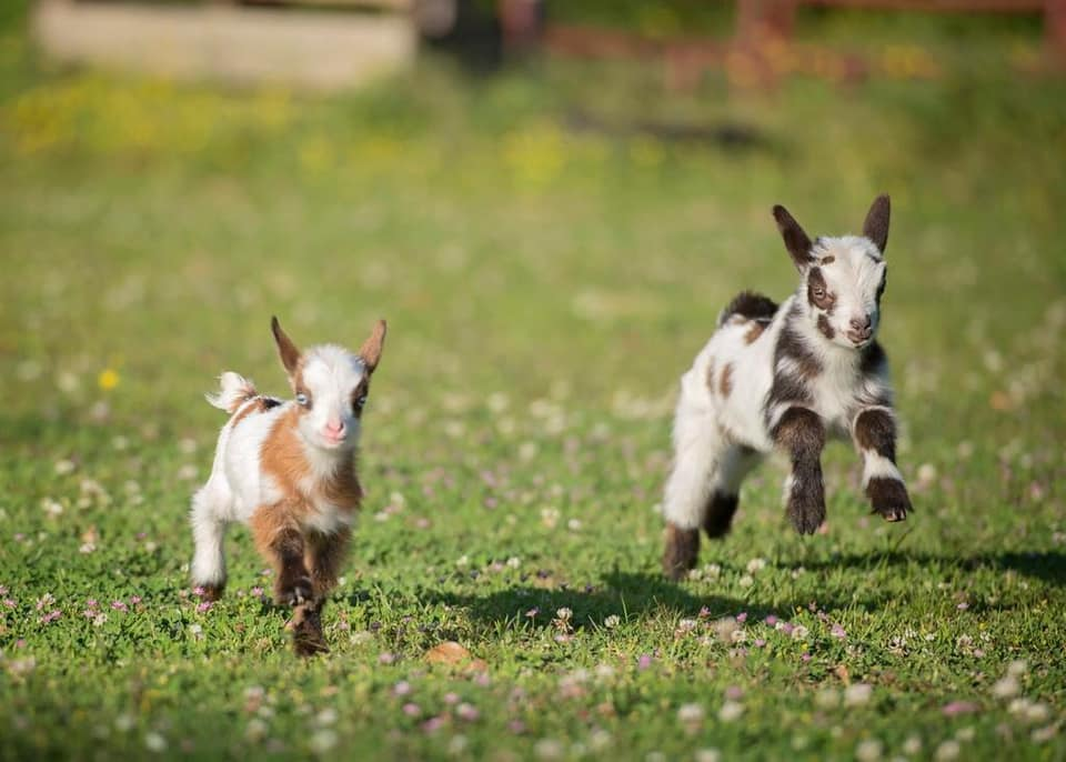 2 baby goats running in a field of flowers pbjdogs.com