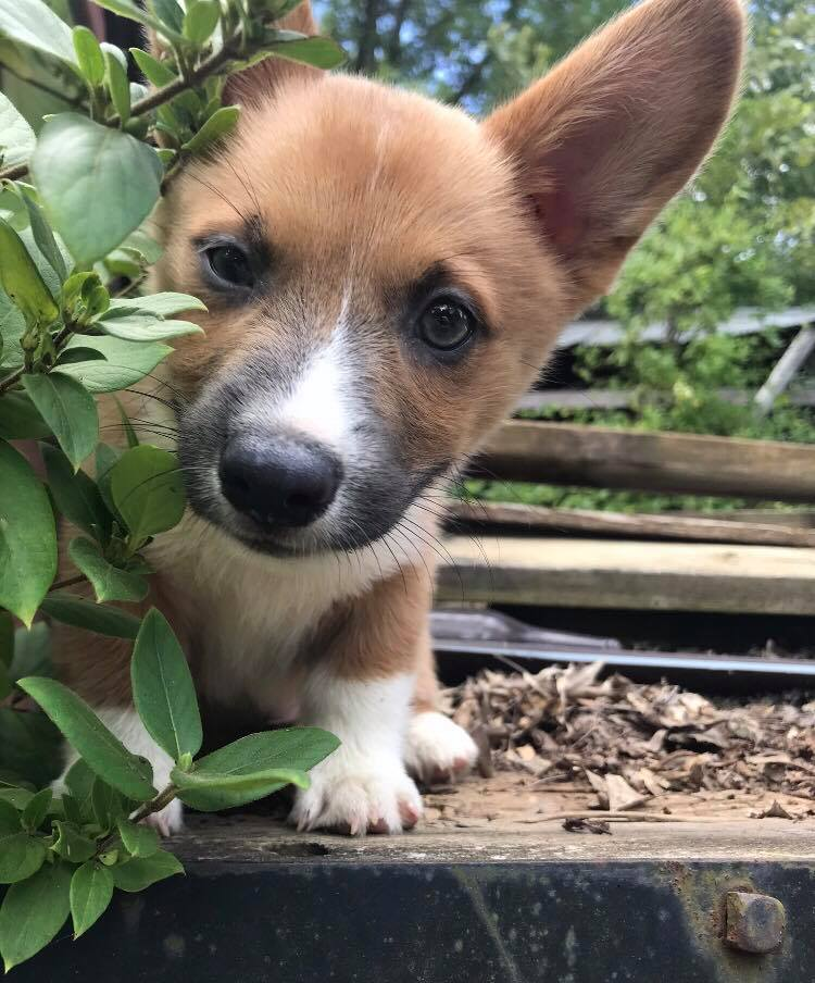 Corgi Puppy Happy Dogs CBD pvjdogs.com