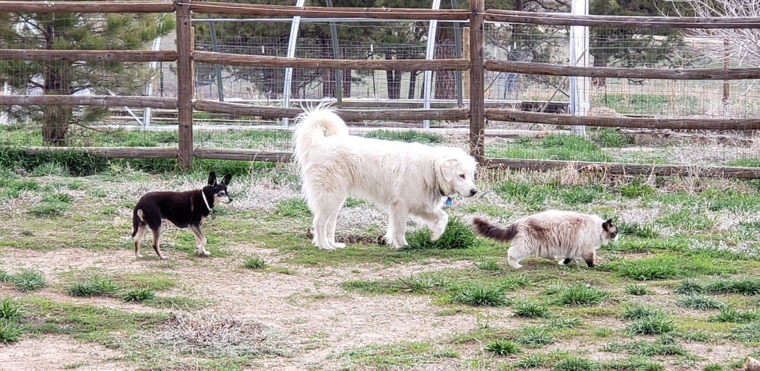 Three dogs and a cat playing in the grass after their Happy Dogs CBD! pbjdogs.com