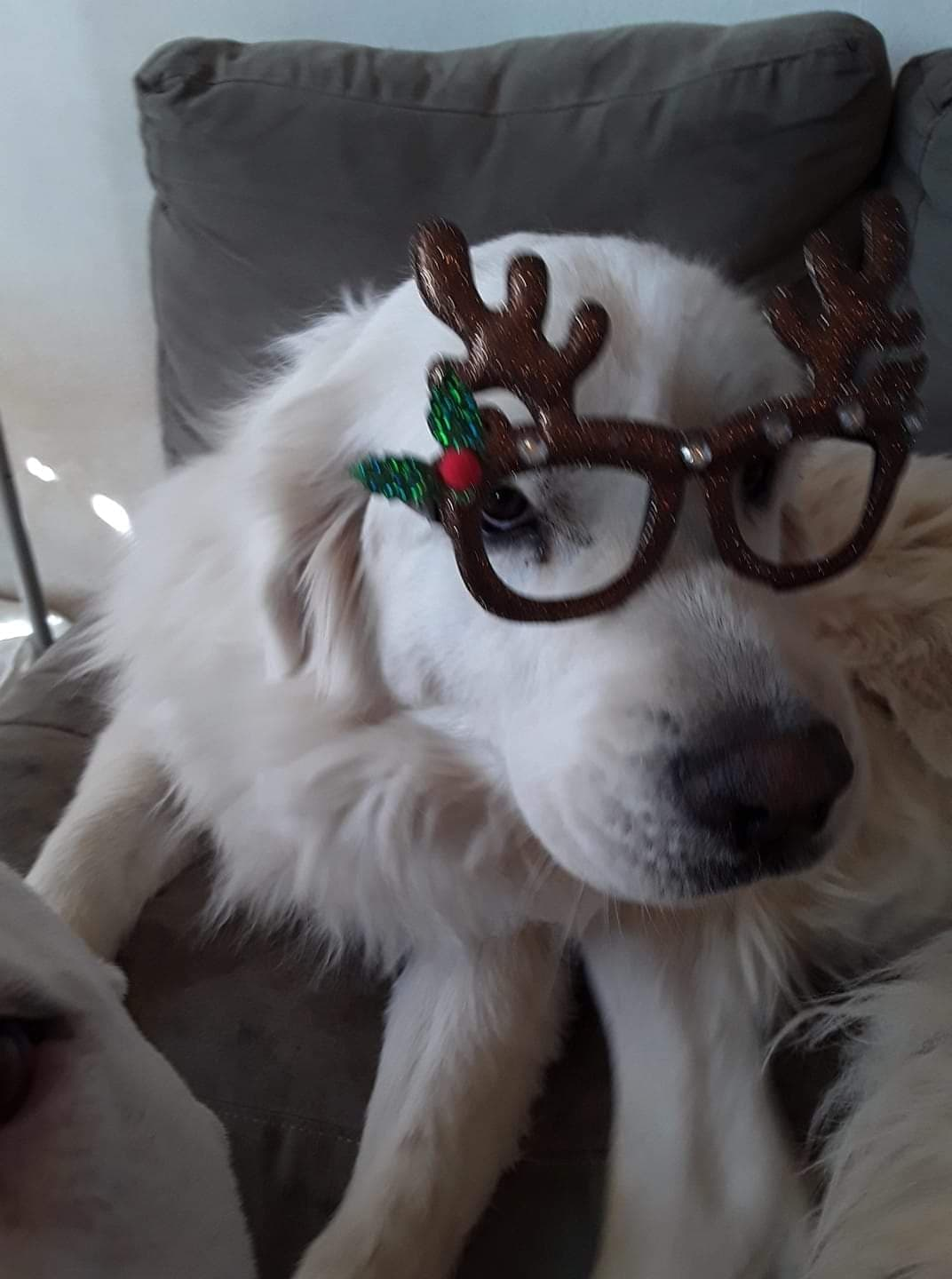 Emma is getting ready for Christmas! Happy Dogs CBD pbjdogs.com