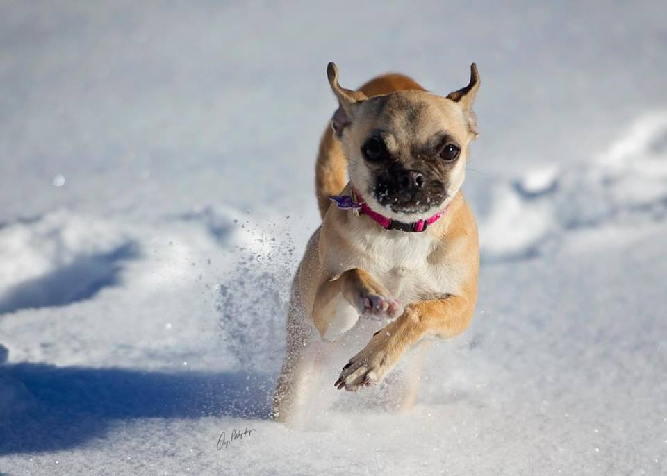 Molly running in the snow. pbj Happy Dogs CBD treats pbjdogs.com